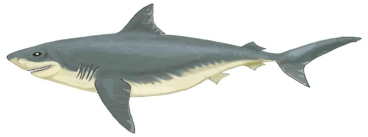 Ilustraţie rechin Otodus