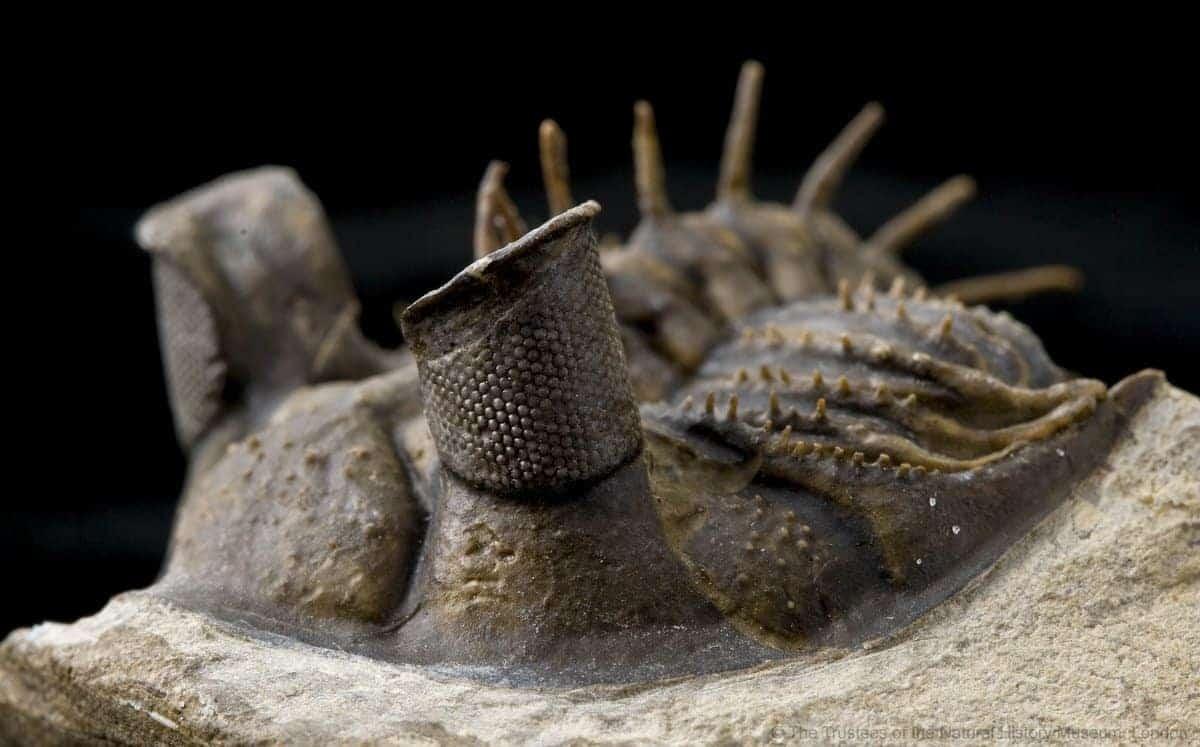 Fosilă ochi trilobit Erbenochile