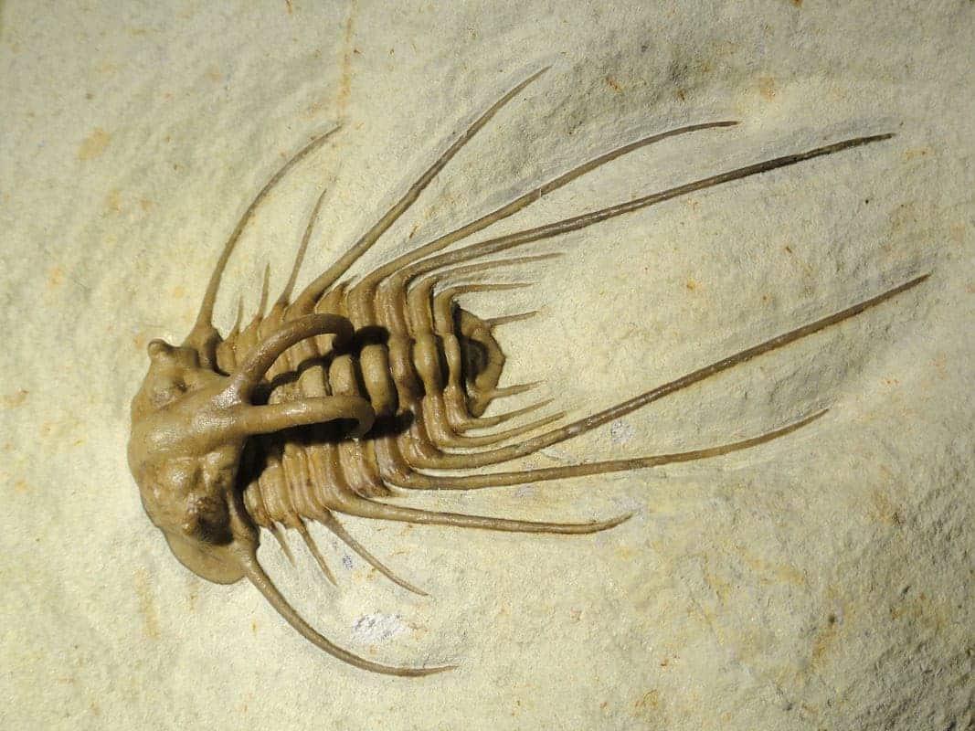 Fosilă trilobit Dicranurus