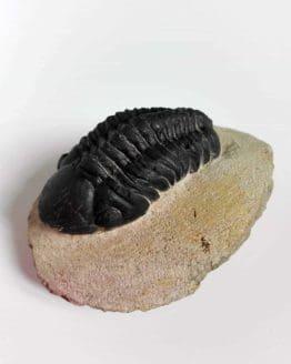 Trilobiţi