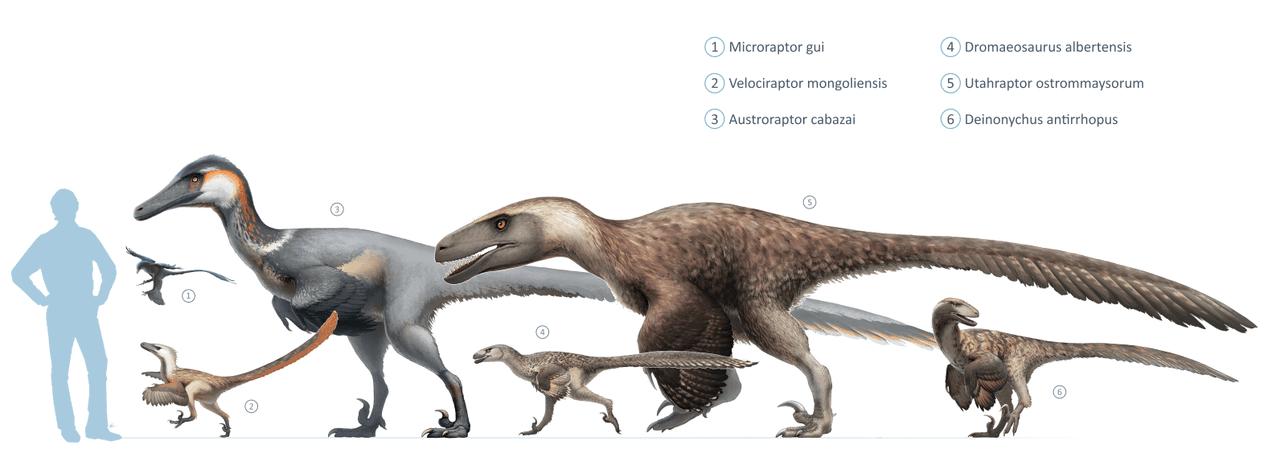 Mărimea dinozaurilor din familia Dromaeosauridae