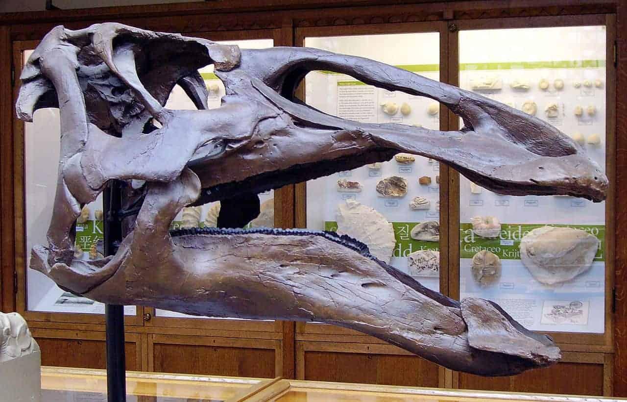 Craniu Edmontozaur