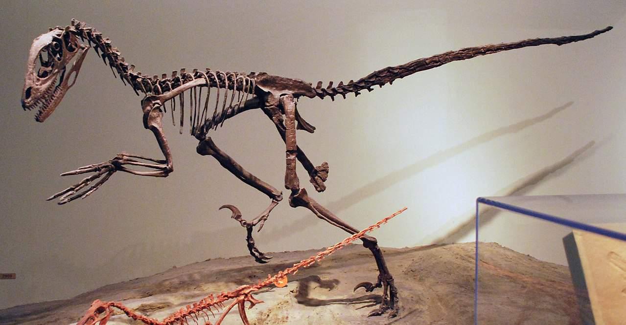 Schelet Deinonychus