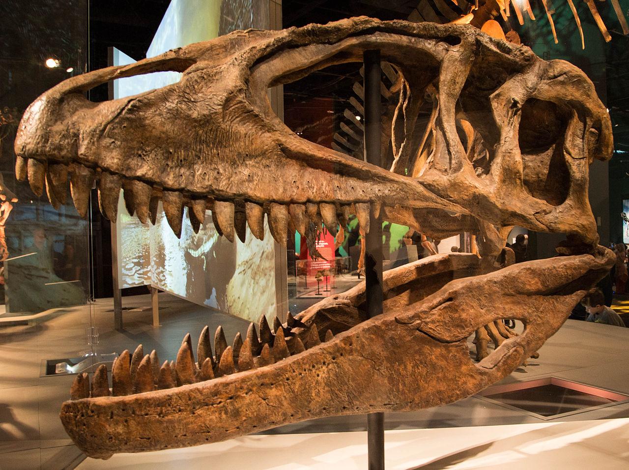 Craniu reconstruit Carcharodontozaur