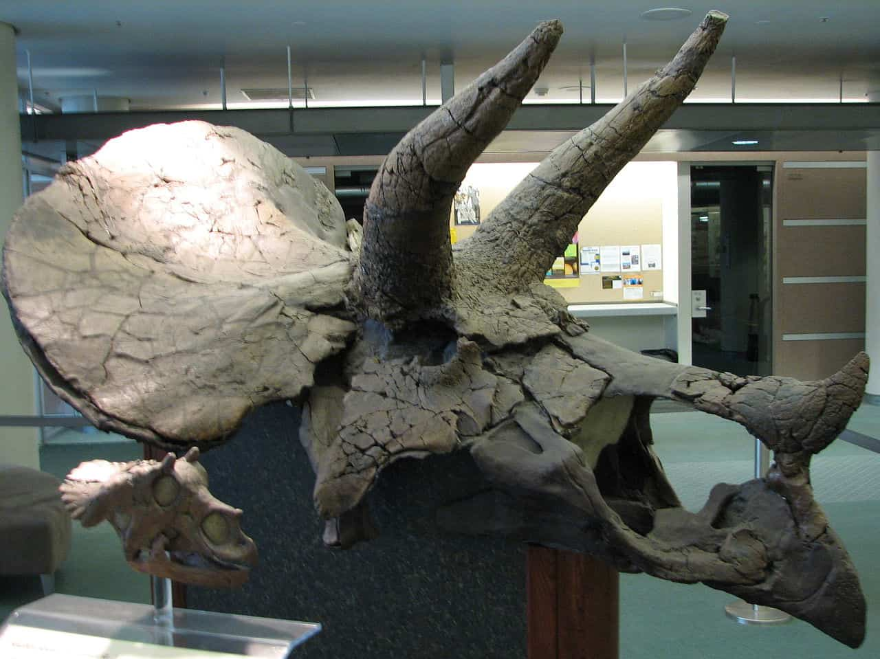 Craniu de Triceratops, adult și pui