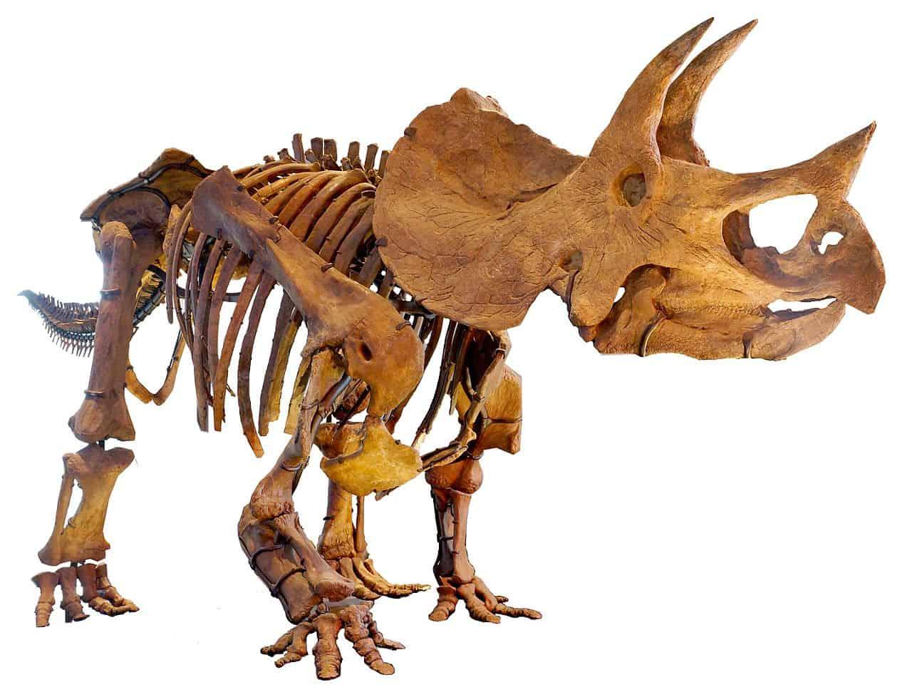Schelet de Triceratops