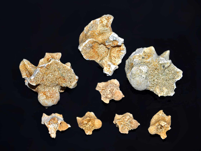 Vertebre de Palaeophis maghrebianus