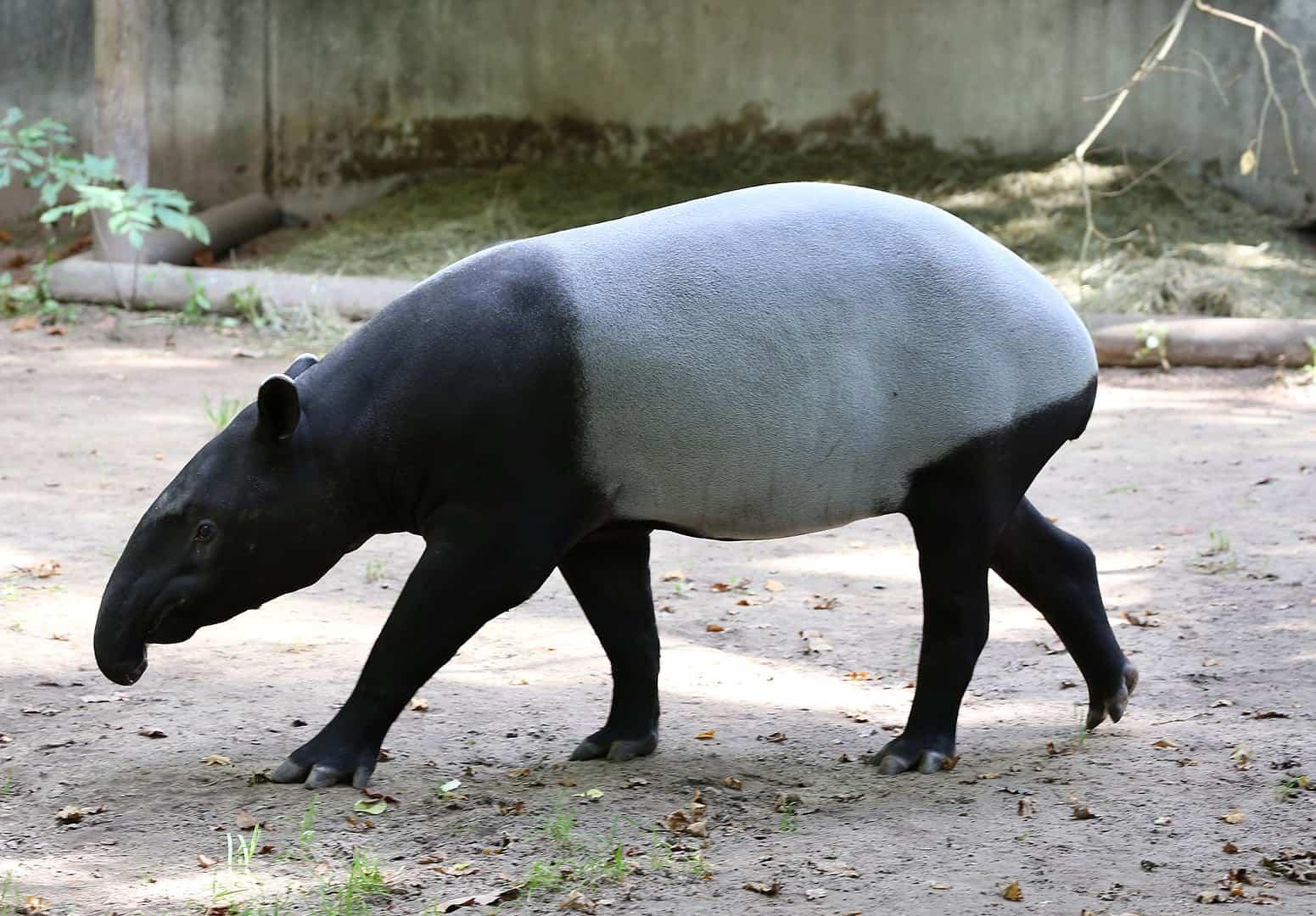 Tapirus indicus modern