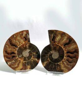 Amoniţi și Nautilus